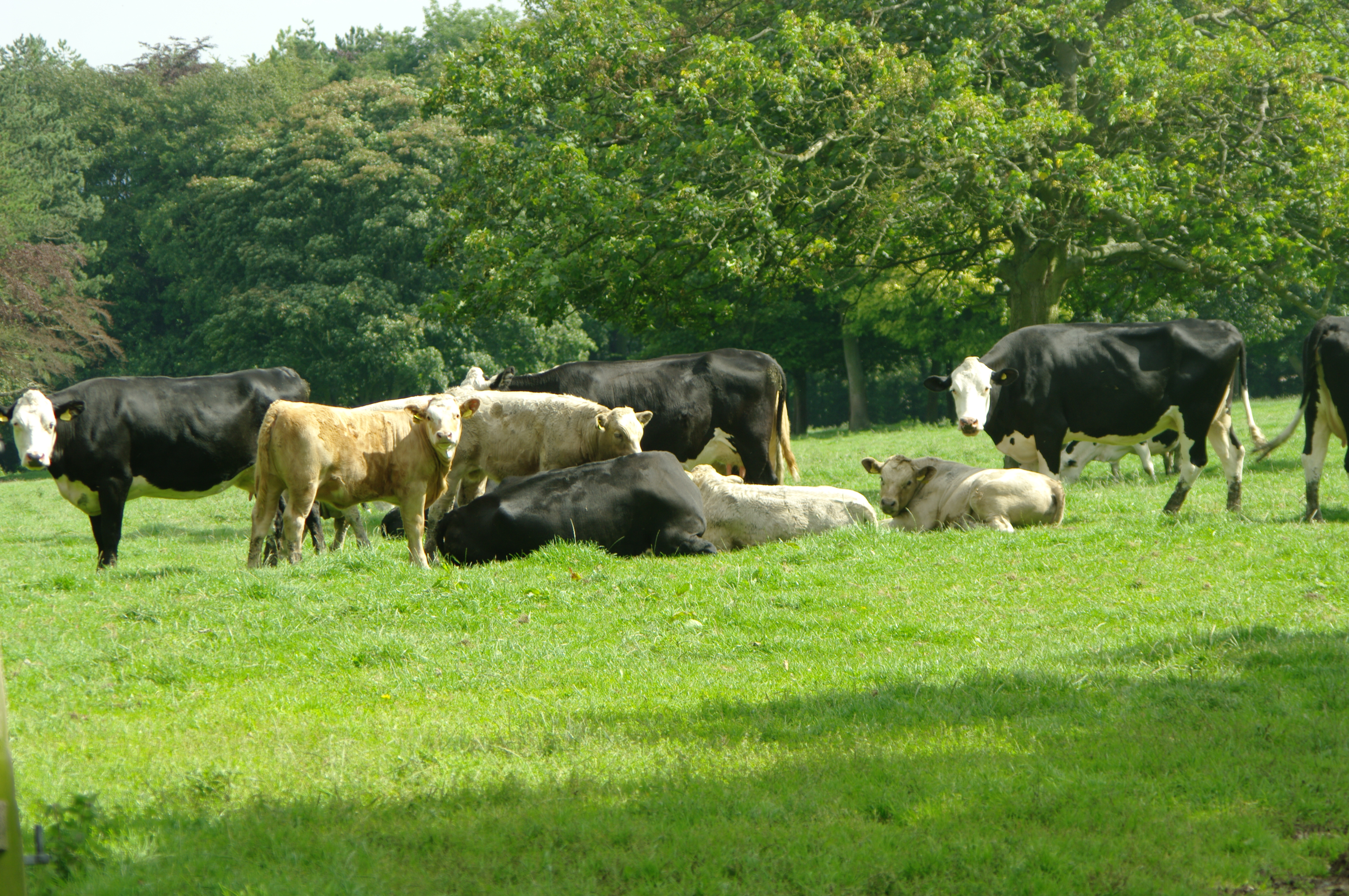 Cattle at grass